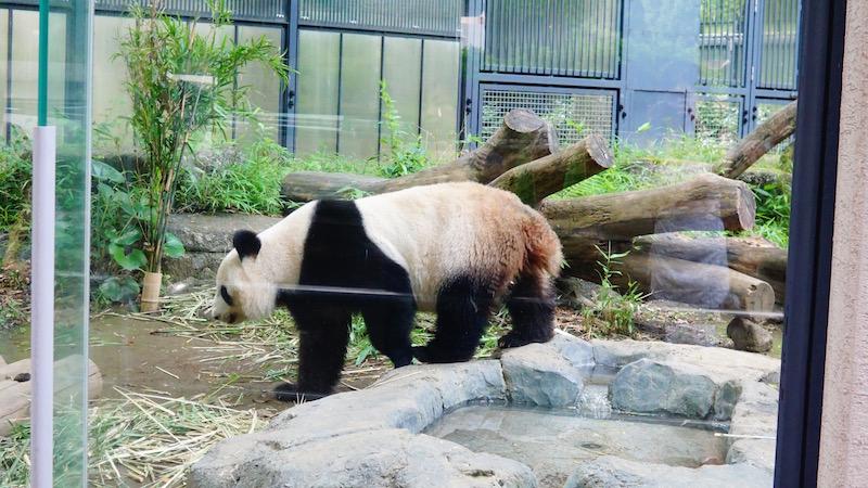 パンダ,上野動物園